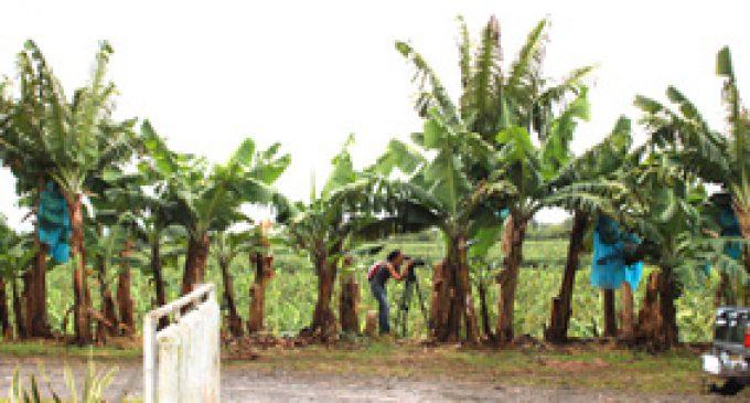 Bananes: 50% de pesticides en moins, 3 ans avant le terme fixé…
