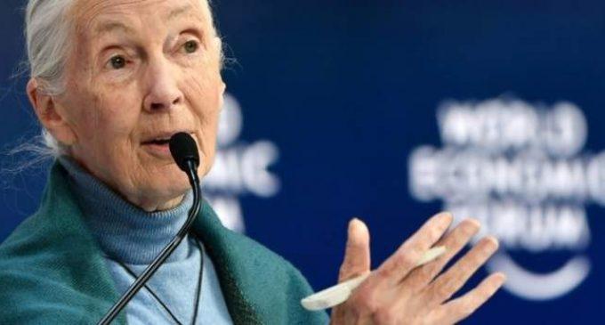 Coronavirus: les humains doivent cesser de «mépriser» la nature, avertit Jane Goodall