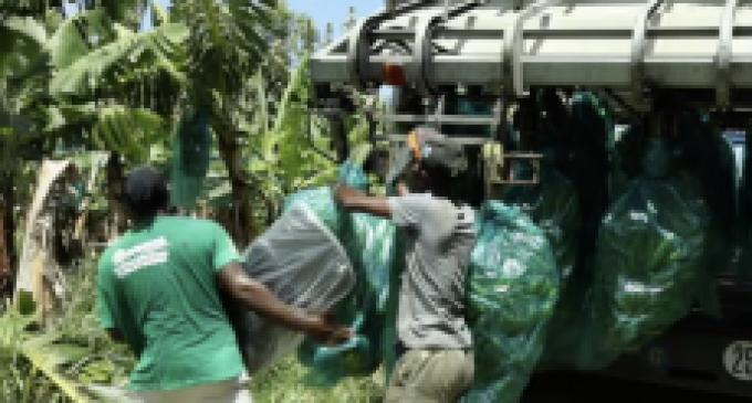 Tout au long de cette crise sanitaire, la filière de la Banane des Antilles a fait preuve de mobilisation et de d'adaptation pour répondre aux besoins des consommateurs et de ses producteurs.