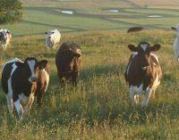 Disrupter les pets de vache pour sauver la planète