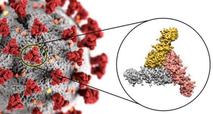 Images de science : le coronavirus au microscope