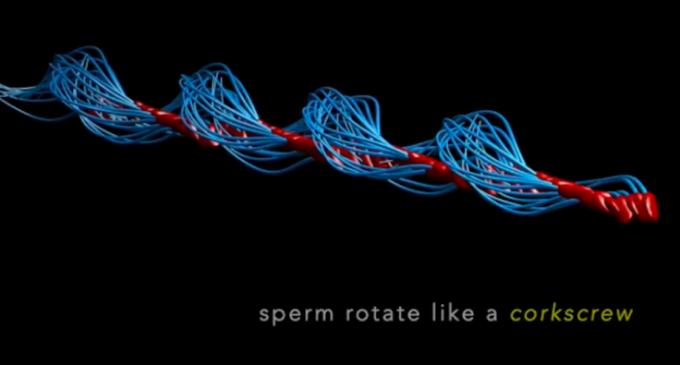 Les spermatozoïdes humains se déplaceraient comme des loutres