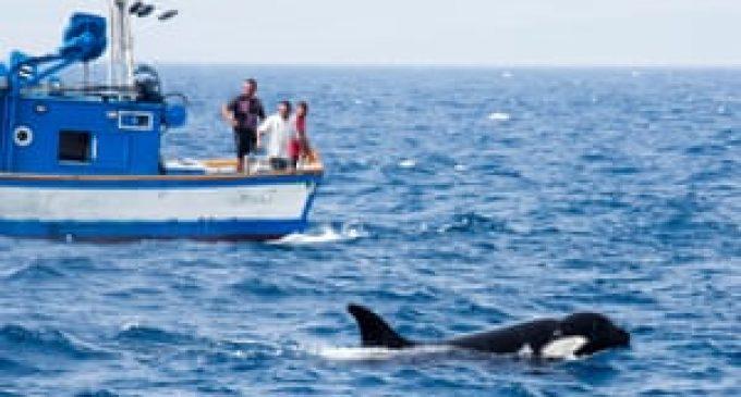 Des scientifiques déconcertés par les orques qui s'attaquent aux voiliers.  (Publié le 30/09/2020. )