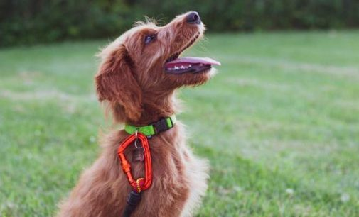 Un chien ressent du stress quand on lui crie dessus
