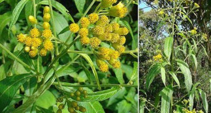 Une plante des Antilles françaises aurait la faculté de lutter contre le Covid et la grippe