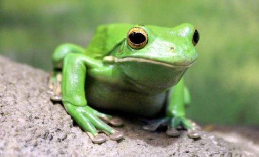 Les grenouilles femelles peuvent couper le son des mâles qui ne les intéressent pas