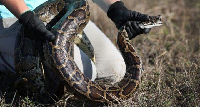 Morsures de serpents : cette autre tragédie sanitaire planétaire pourtant évitable