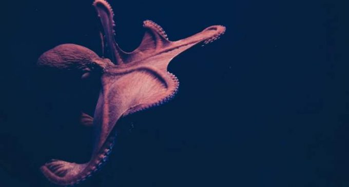 Des ventouses pour apprendre : pourquoi les poulpes sont si intelligents